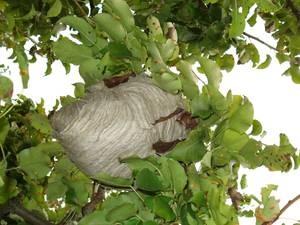 Nest Wespe im Obstbaum